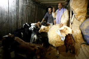 130501-gaza-tunnel-sheep
