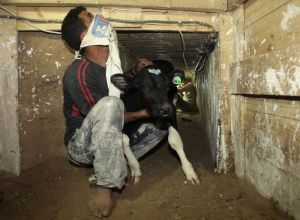 Palestinian smuggles calf through tunnel beneath Egyptian-Gaza border in Rafah